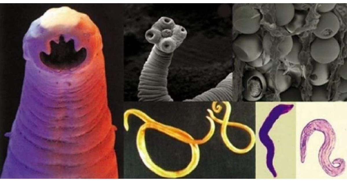 Paraziţii: trăiesc, se hrănesc, se înmulţesc, îmbolnăvesc - caută.vet