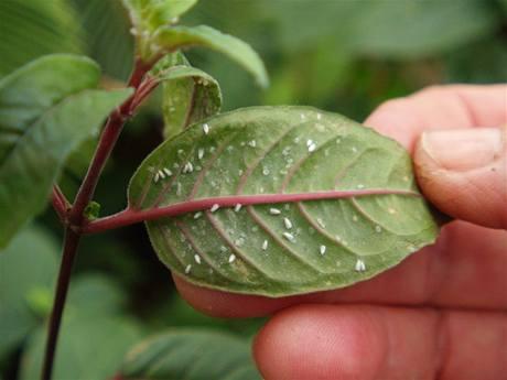 paraziti na rostlinach