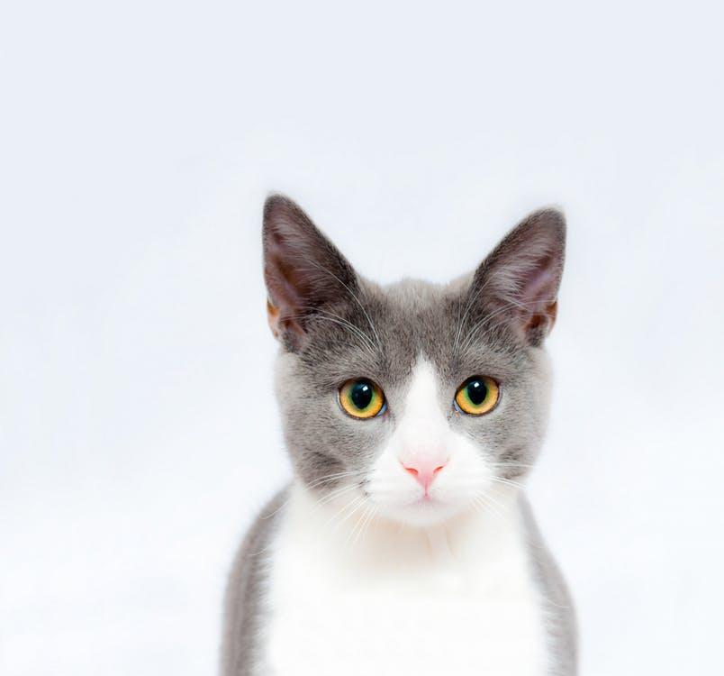 papiloame la pisici ce să facă