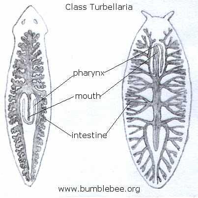 platyhelminthes turbellaria dugesia produse de detoxifiere și de curățare a colonului