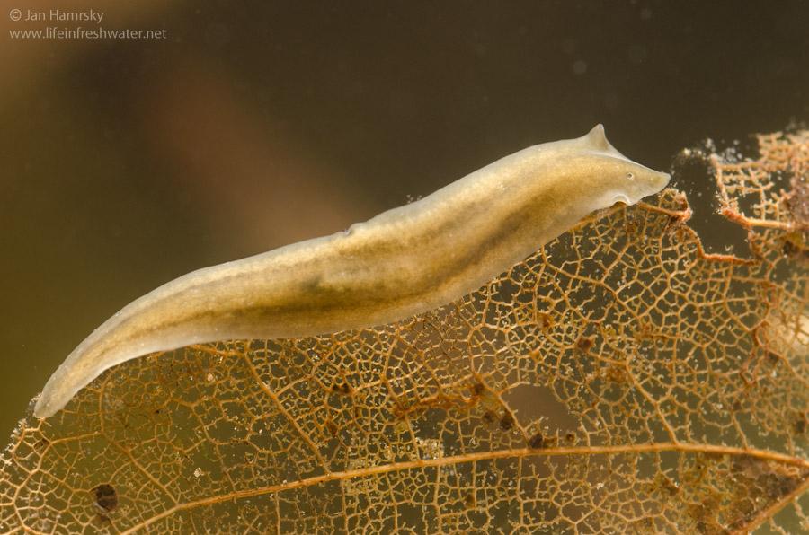 platyhelminthes turbellaria dugesia factorul de șoc helminthol
