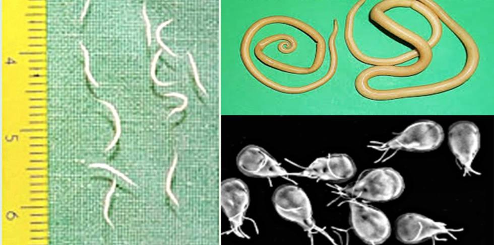 forme larvare de paraziți schistosomiasis reservoir
