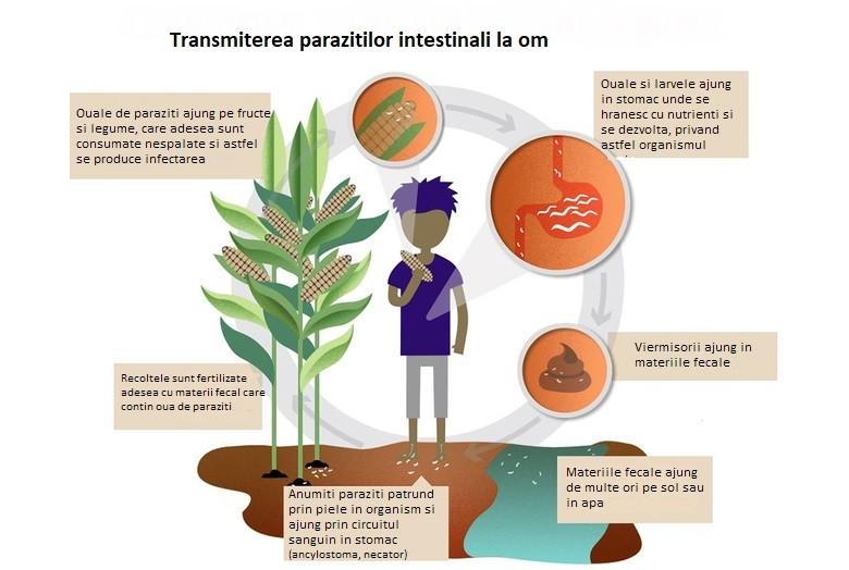 prepararea parazitului de bandă