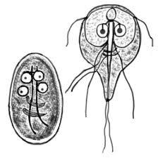 Preparatele de giardia și nematode cancerul hepatic cauze