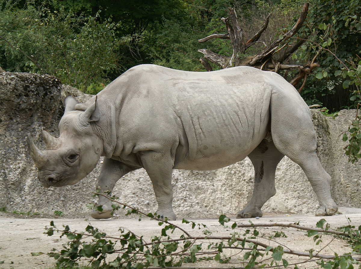 rinocer la om