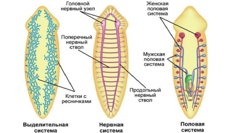 infecția giardiei fără diaree cum să scapi de paraziții umani