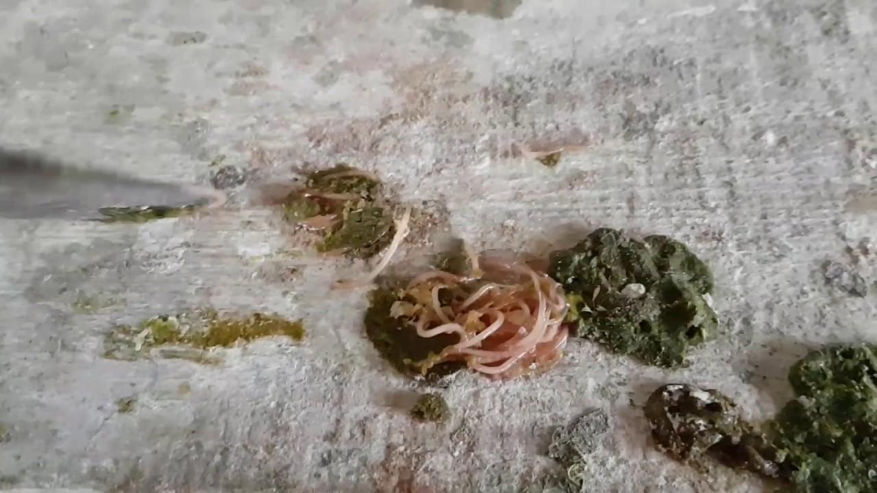 tratament pentru viermele subcutanat la om)
