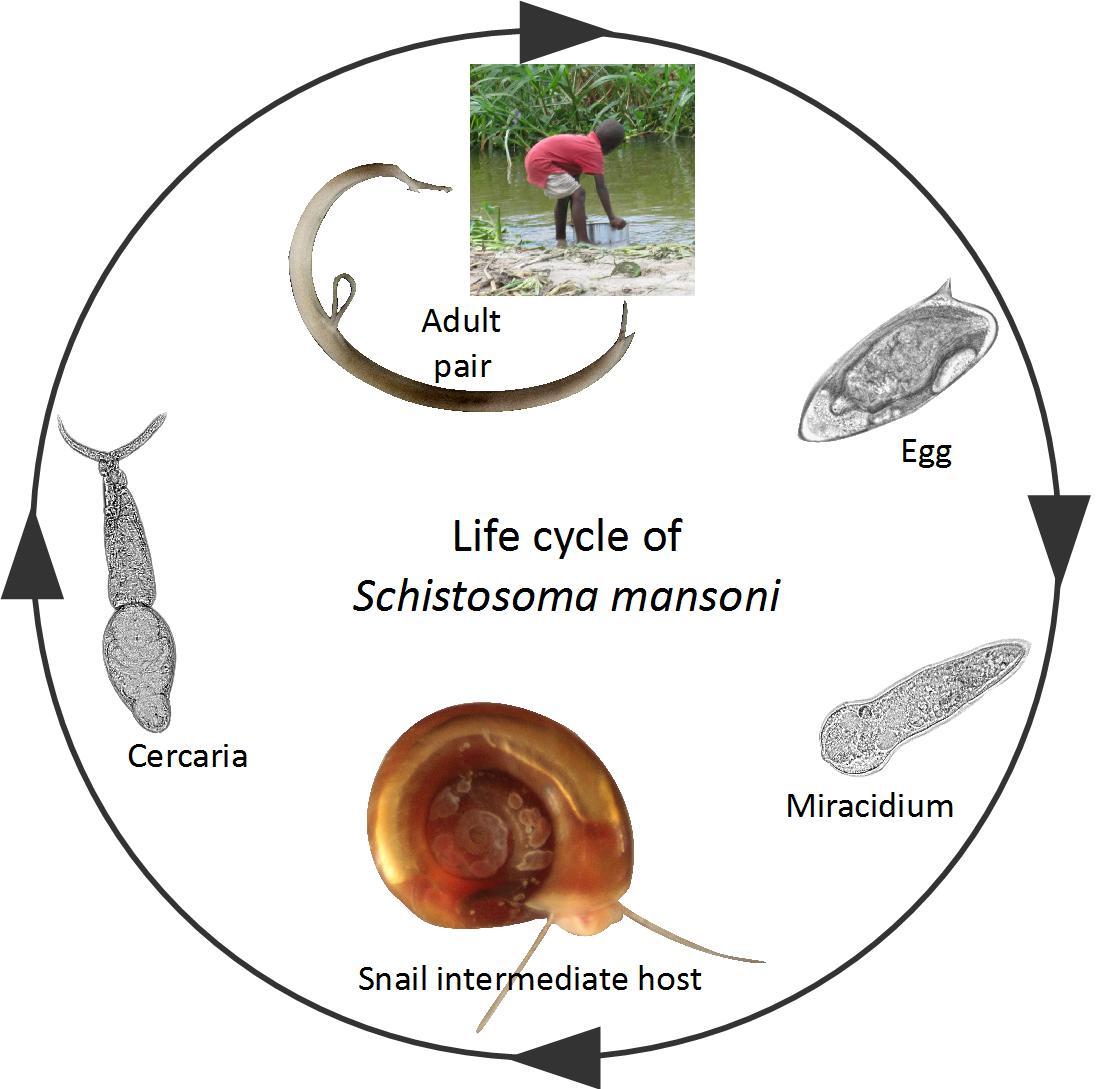 schistosomiasis snail paraziți la om erupții cutanate