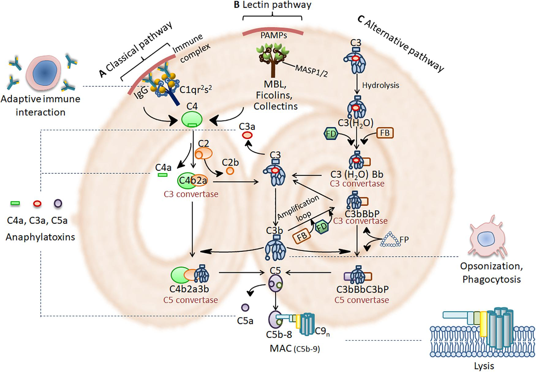helminth immune evasion strategies nombre cientifico de oxiuros