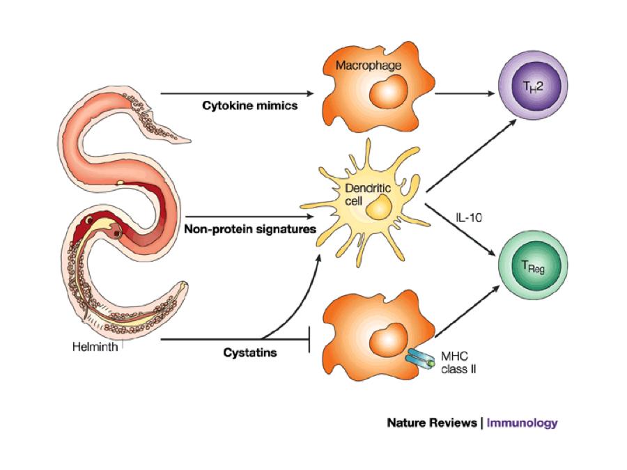 helminth immune evasion strategies papilloma virus vaccino vivo