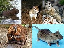 dezvoltare cu șobolan hpv erkrankung manner