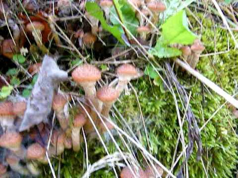 Armillaria mellea 1 - Wikipedia