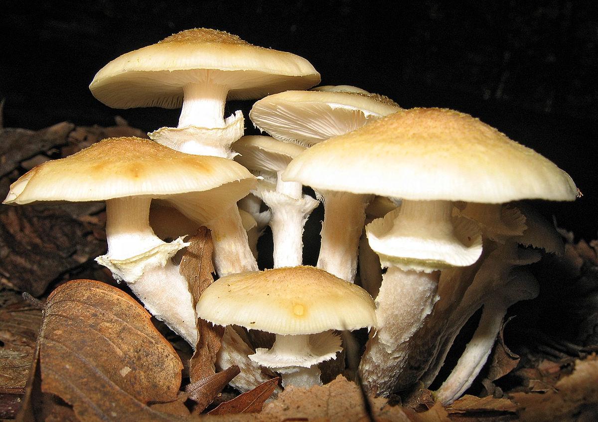 ciuperci opintici giardia remedio
