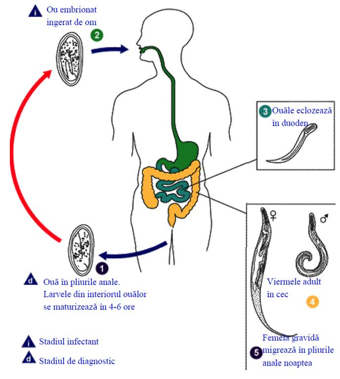 medicament eficient pentru viermi la gravide hpv warts pus