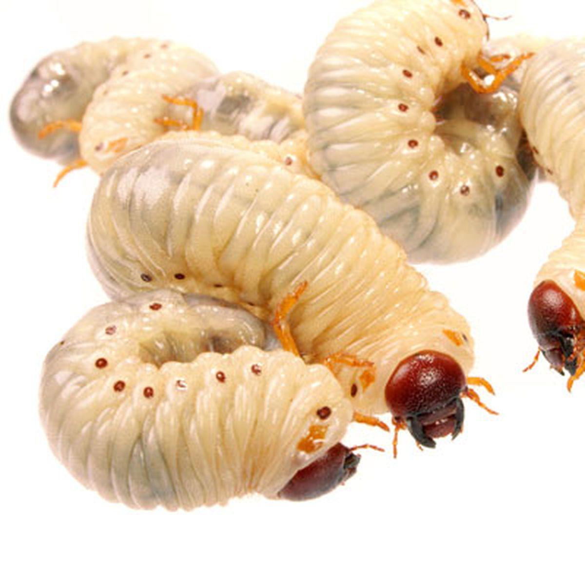 cum să tratezi viermii și giardia