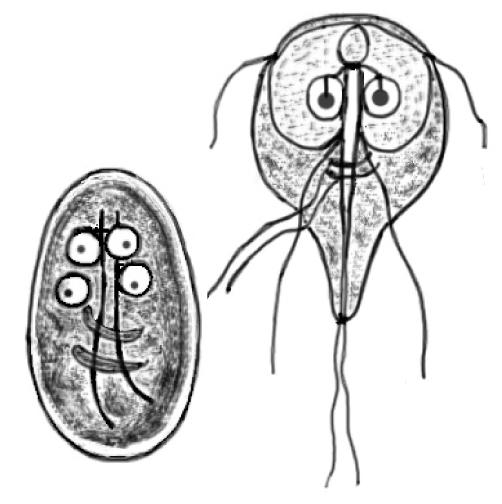 giardiaza este numele parazitului