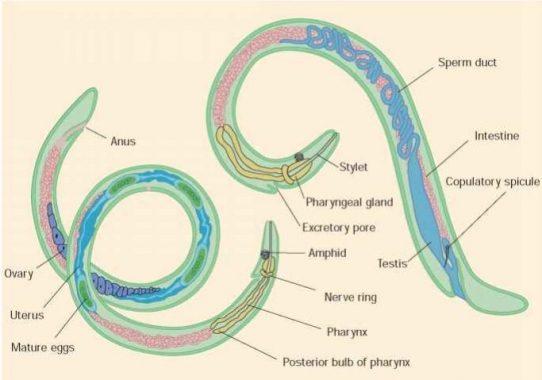 gambar clasifică nemathelminthes sintomi del papillomavirus hpv